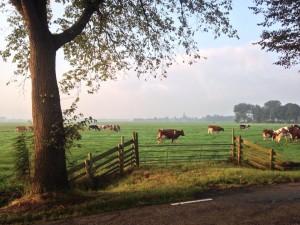 Weide met roodbonte koeien (Foto Michiel Breedveld)