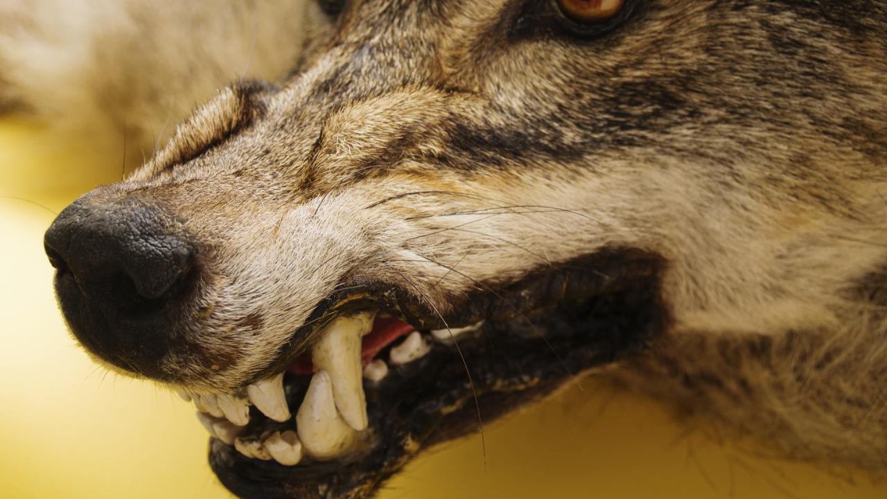 boze wolrf