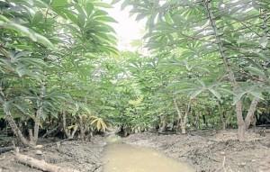 Perng's cassava farm