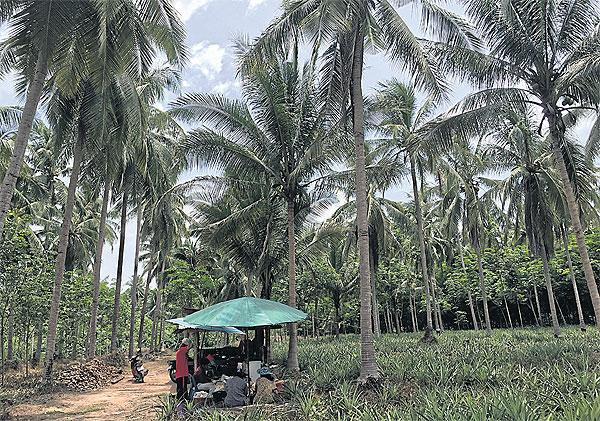 Kokosnotenplantage