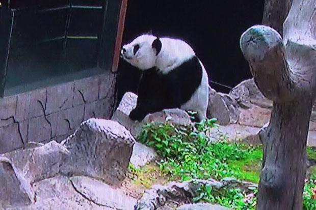 Panda Lin Hui