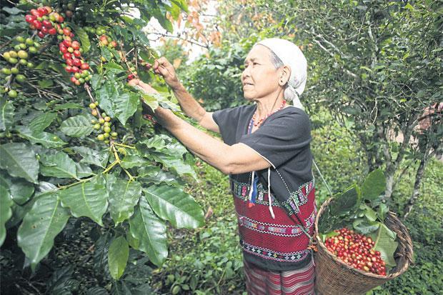 Koffieplukster aan het werk bij shade-grown koffie
