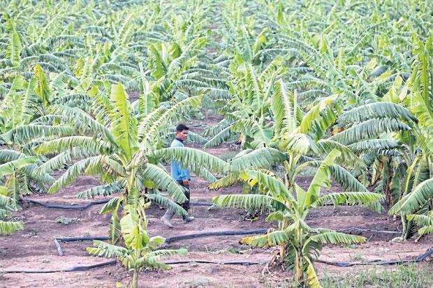 Bananenplantage in Chiang Rai