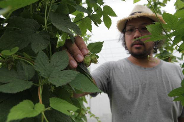 Nattachai Ungsriwong bij zijn hopplanten