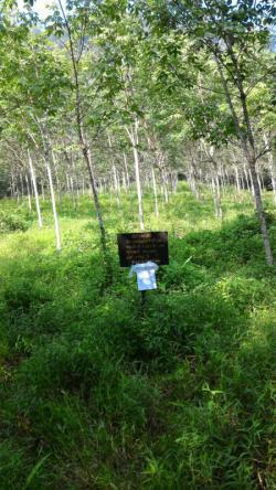 Rubberplantage van Anutas