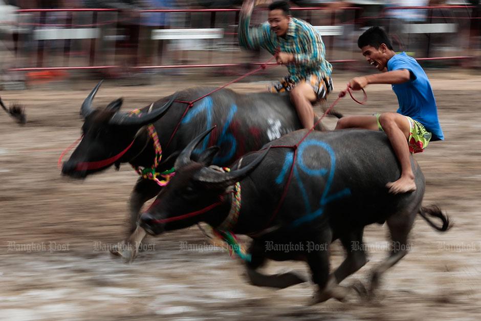 Buffalo Race Festival in Chon Buri