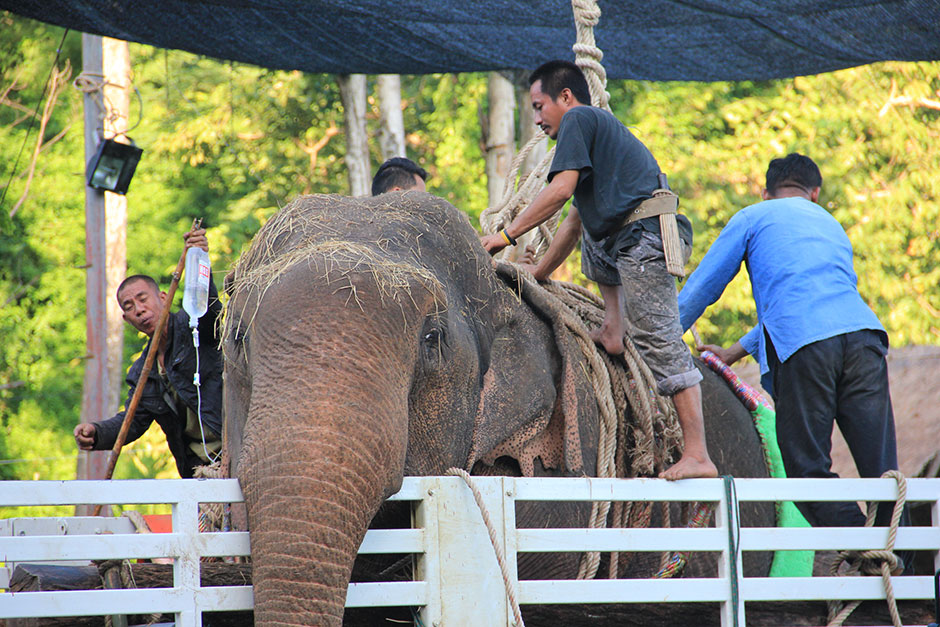 Gewonde olifant opgenomen in National Elephant Institute te Lampang