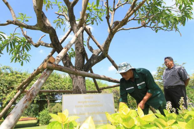 mangoboom in het King Rama IX park, gepland door de koning