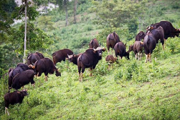 Kudde gaurs in nationaal park Khao Phaeng Ma